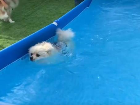 ポメラニアンのうたちゃん、初泳ぎです。