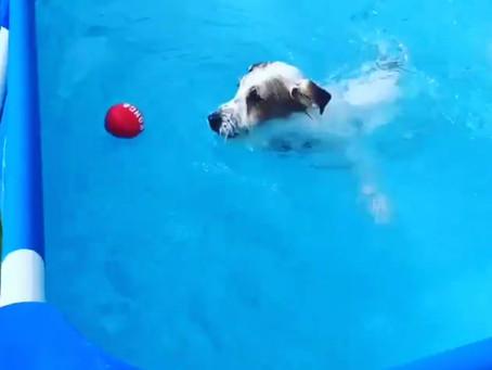 ジャックラッセルテリア のブランカちゃん🐶初泳ぎ🏊♂️💕💕