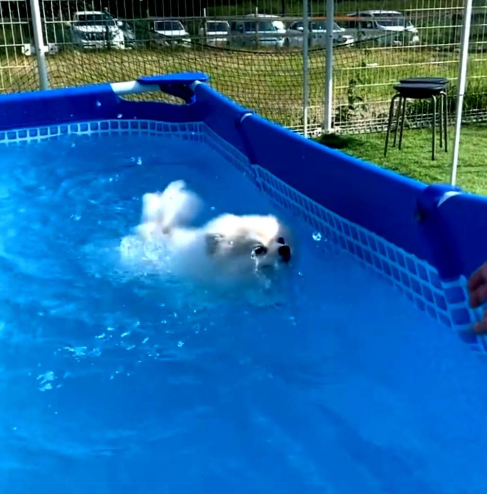 ポメラニアンのポミちゃんの上手な泳ぎ