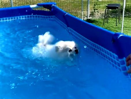 ポメラニアン のポミちゃん上手に泳いでるよね💕 呉 東広島 ドッグランクラブ広島 ドッグプール🏊♂️