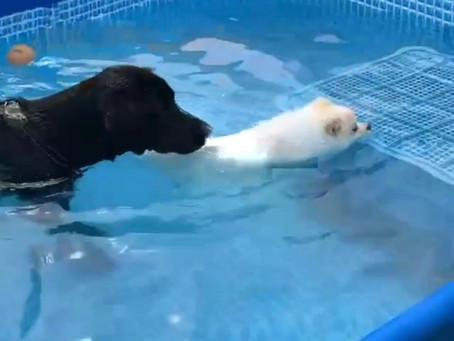 ポミちゃんとガイくんのプール遊び: 呉・東広島ドッグラン
