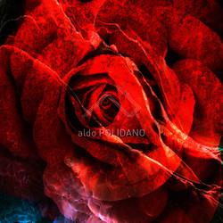 red rose squarish