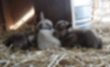 Drawf Nigerian Newborn Goats sleeping.