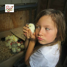 Chicks and children, a happy combination.  Learn to cure and avoid flock pecking.  Chickens all ages can be cured of this problem.