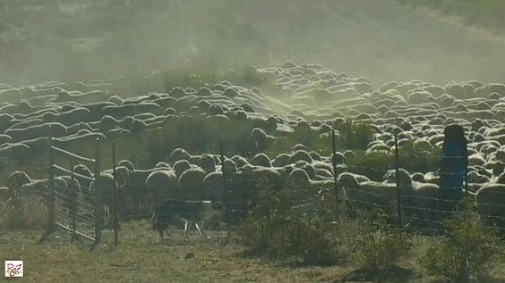 Shepherd, herd dogs, herd of sheep