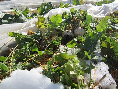 Turnips growing in the winter!