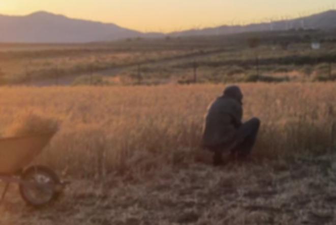 Sunrise wheat harvest ~