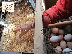gathering fresh layed chicken eggs