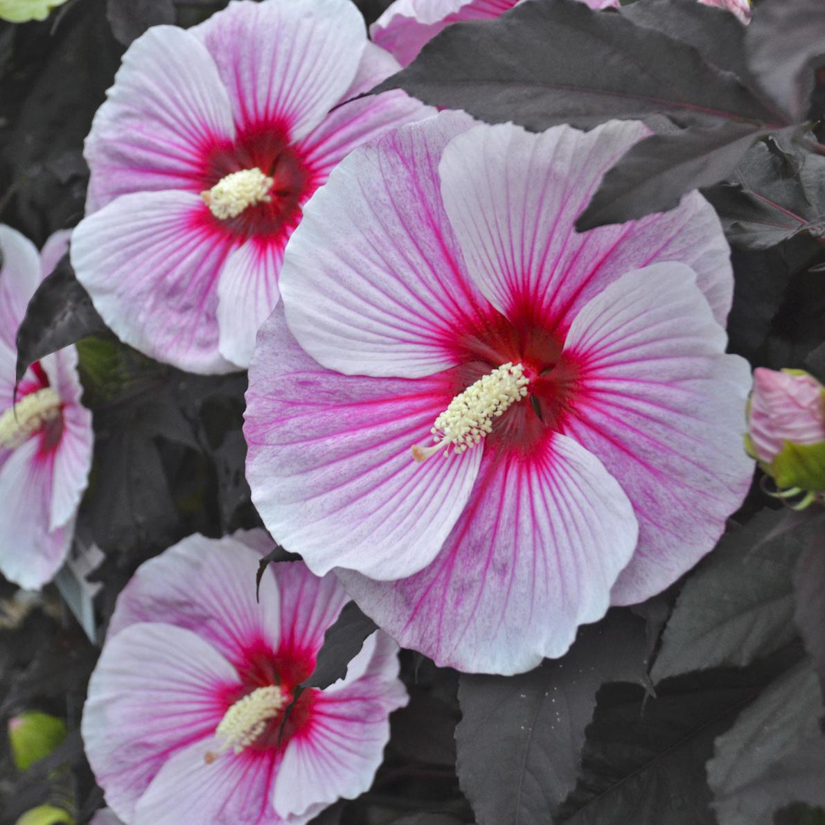 Hibiscus Starry
