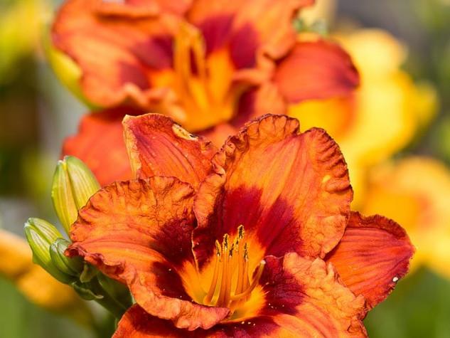 2) Hemerocallis 'Mighty Chestnut'