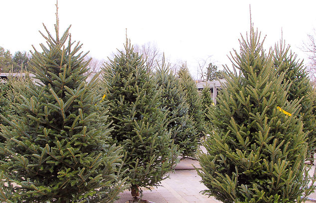 Freshest Christmas trees South of the North Pole.  Table top to 12'. Fraser Fir, Canaan Fir and Balsam Fir.  Old fashioned Christmas tree lot.