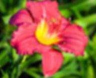 Hemerocallis-Pardon-Me_edited.jpg