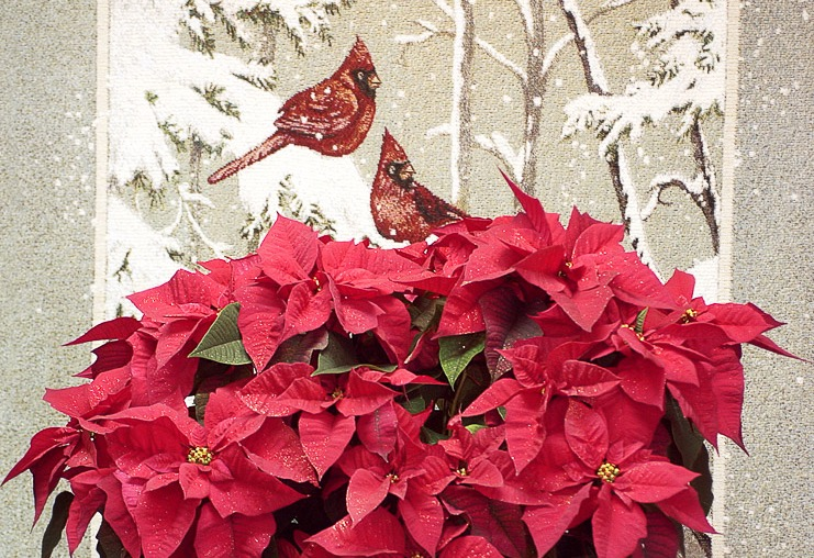 Poinsettia_edited