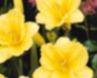 Hemerocallis Happy Returns-1.jpg