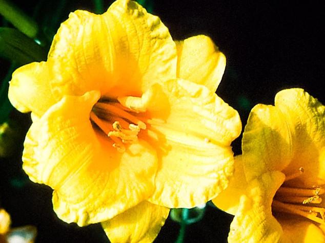 8) Hemerocallis 'Stella de Oro'