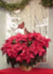 Long lasting Poinsettias make great gifts.