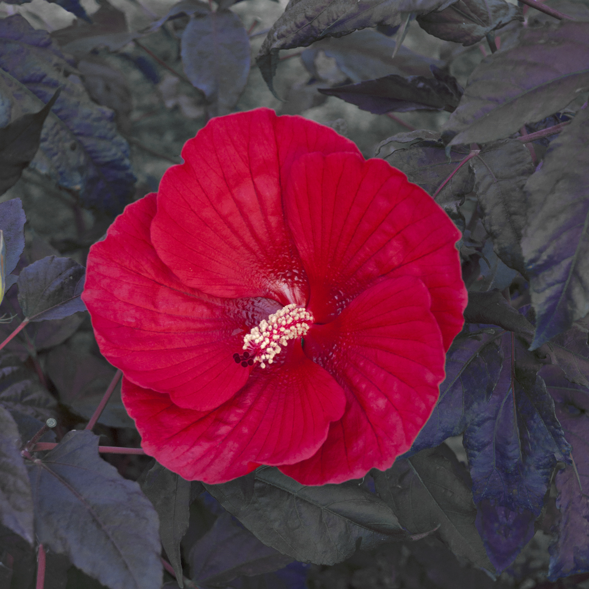 Hibiscus Midnight Marvel