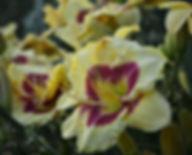 Hemerocallis Monterrey Jack-1.jpg