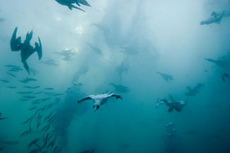 gannets diving underwater