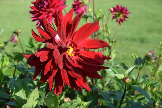 Nancy, jardin botanique dahlias 2017