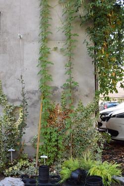 Nancy, végétalisation de façades
