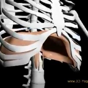 3D view of diaphragm