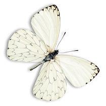 white%20butterfly%20257022397_edited.jpg
