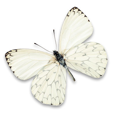 white butterfly 257022397.jpg