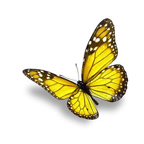 yellow butterfly isolated on white backg