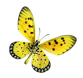 Yellow Butterfly, Tawny coster or Acraea