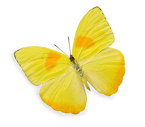 Yellow butterfly isolated on white.jpg