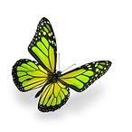 green butterfly 45434098.jpg