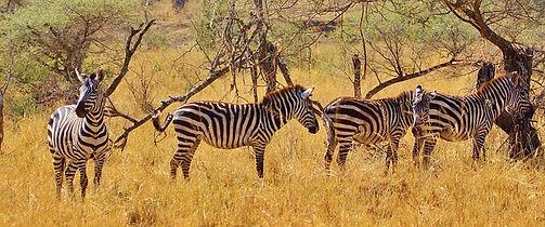 zebra-278371_640.jpg
