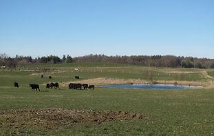 kvæg på marken.JPG
