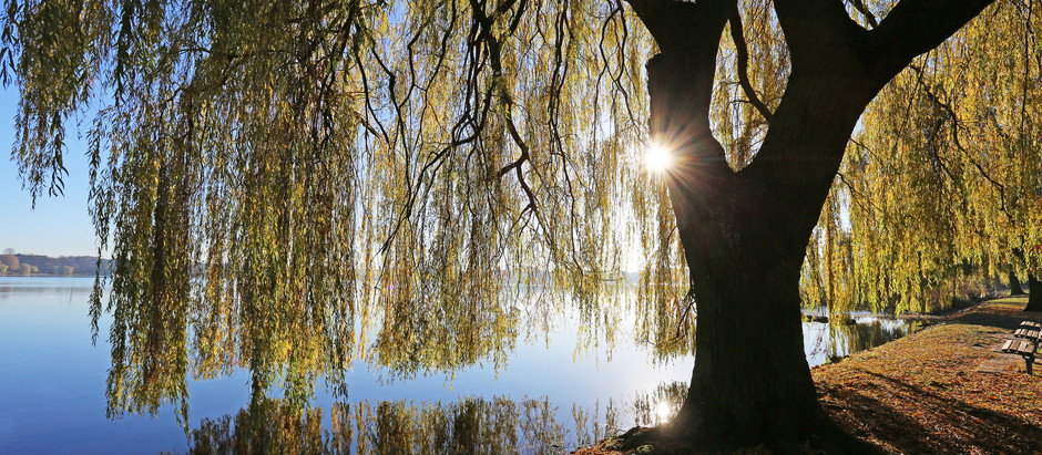The Wonders of the Willow