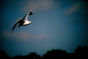 Seagull 1 Rev Elizabeth