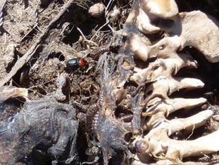 Entomología forense: insectos al servicio de la justicia