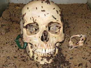 Larvas como indicadores forenses