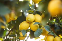 Citrogold-(32)