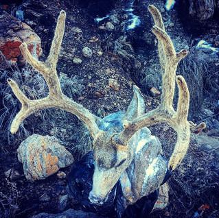Archery Mule Deer I guided in 2016, hope