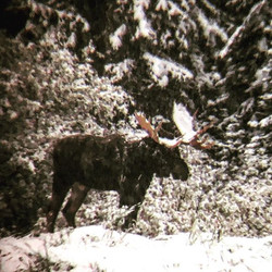 Moose Monday, he's still out there in ou