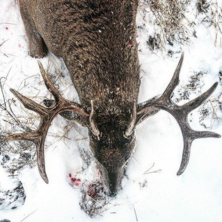 Whitetail Wednesday. One of the most com