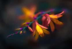 flowers_crocosmia