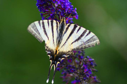 animals_striped_butterfly_1