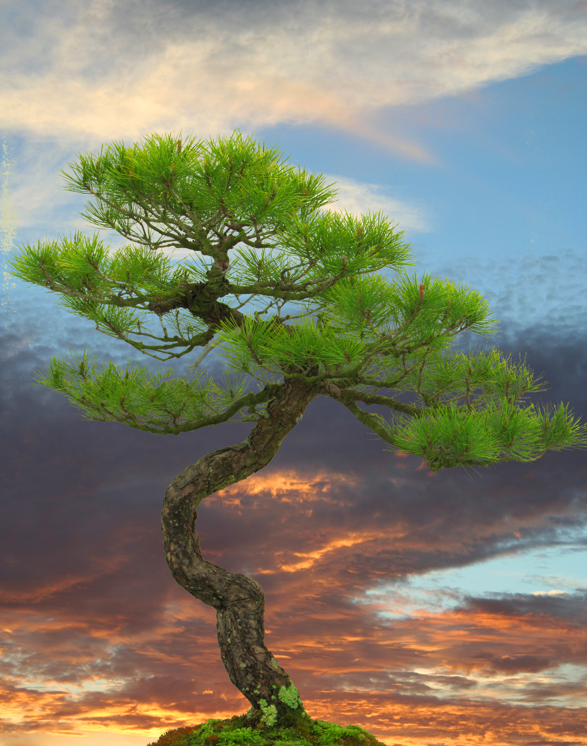 trees_pine_and_sky_large