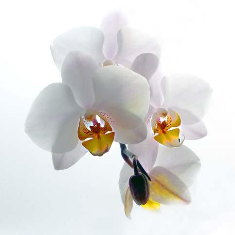 flowers_orchids