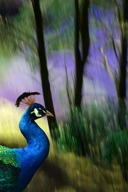 animals_peacock