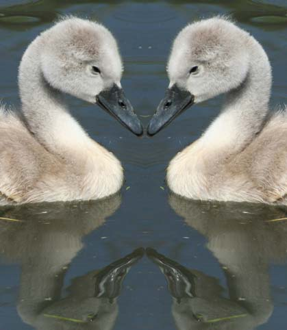 animals_cygnets