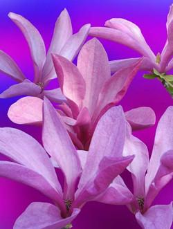 flowers_magnolia_blossoms