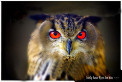 animals_owl